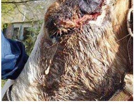 CRUAUTE ANIMALE – L'Angleterre durcit ses sanctions !